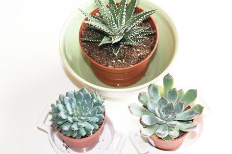 Comment Arroser Les Plantes Grasses Et Les Succulentes Plantes
