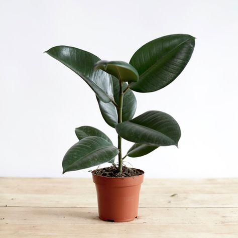 Plants Ficus Rubber Plant