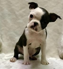 Everything About Cute Boston Terrier Dogs Bostonterriersforever