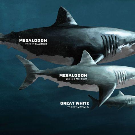 Megalodon | Sharkopedia