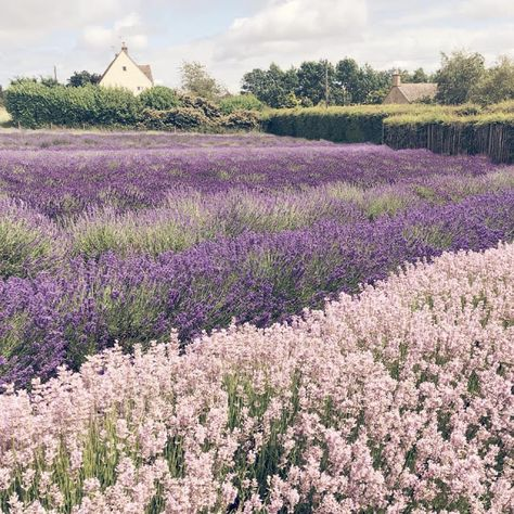 The lavender fields Lavender Aesthetic, Nature Aesthetic, Aesthetic Colors, Flower Aesthetic, Aesthetic Pictures, Pretty Flowers, Wild Flowers, Lavender Fields, Lavander
