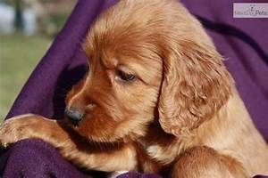 Irish Setter Puppy For Sale Near Louisville Kentucky Dogs