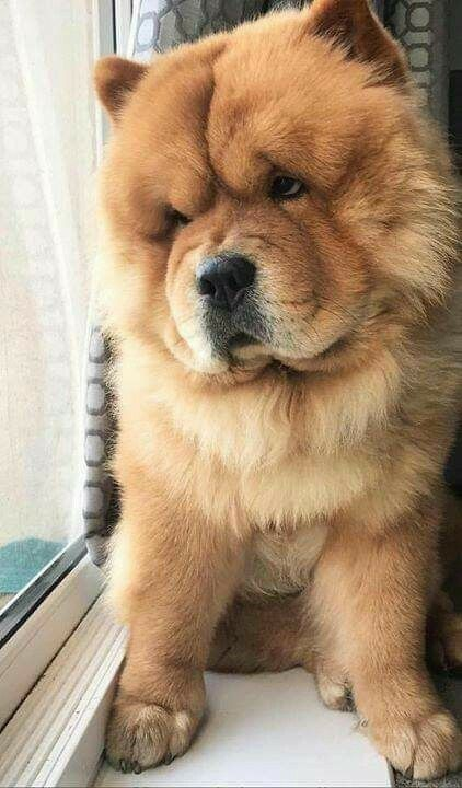 Dog Wallpaper Dog Wallpaper For Iphone Dogs Wallpaper Lovely Fluffy Dog Chowchow Dogchowchow Petlov Dog Wallpaper Iphone Dog Wallpaper Cute Dog Wallpaper