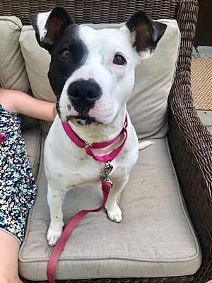 New York Ny Labrador Retriever Meet Gypsy A Dog For Adoption