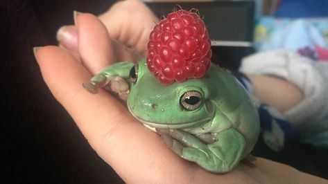 A happy frog wearing a raspberry! Animals And Pets, Baby Animals, Cute Animals, Cute Creatures, Beautiful Creatures, Ac New Leaf, Arte Sketchbook, Cute Frogs, Cat Dog