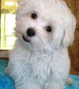 How To House Train A Maltese Puppy Puppytrainingtips