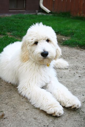 Goldendoodle Grooming 5 Best Tips On How To Groom A Goldendoodle