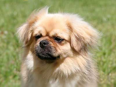 All Dog Breeds All Dog Types All Dog List Names Pictures Dog Breeds Tibetan Spaniel Dogs