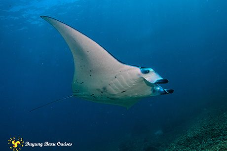 Revealed Where To Dive With Manta Rays Manta Ray Diving Scuba