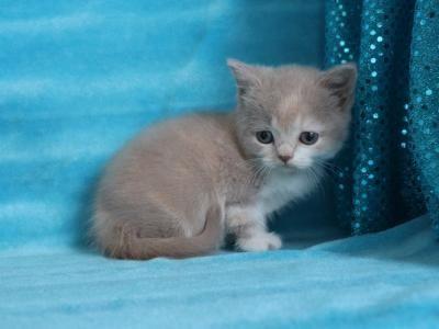 Minuet Kitten Male Female Munchkin Kittens For Sale In California United States Profile Id 27622 In 2020 Munchkin Kittens For Sale Munchkin Kitten Kittens