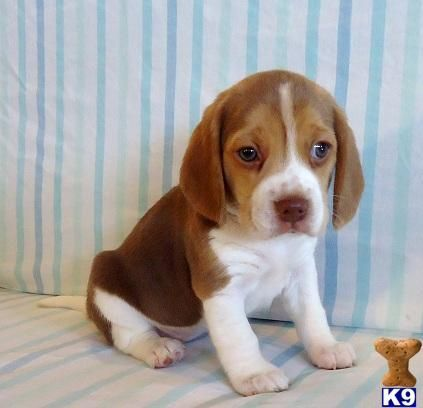 There S Nothing Better Than A Chocolate Beagle Puppy Beagle Puppy Beagle Puppies