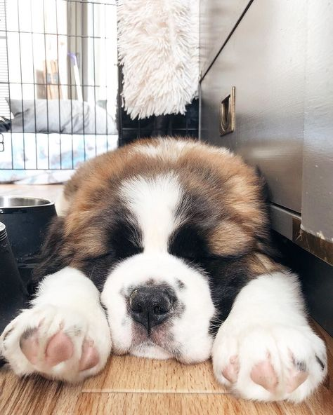 Cute Dogs And Puppies, Baby Puppies, I Love Dogs, Cute Big Dogs, Doggies, Chien Saint Bernard, St Bernard Puppy, Animals And Pets, Funny Animals