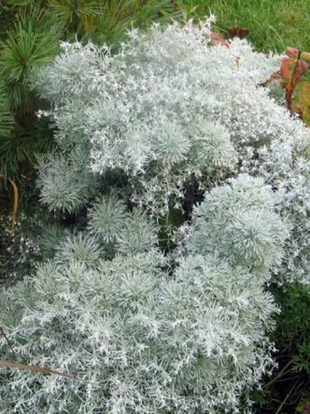 Artemisia schmidtiana \'Nana\' | Plante jardin, Arbres et ...