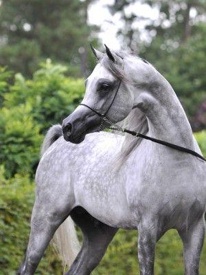 Raoud Albidayer Beautiful Arabian Horses Animals Horses