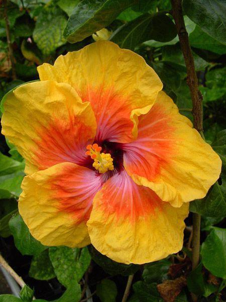 Hibiscus Flower Benefits For Skin Hibiscus Hibiscus Flowers Hibiscus Hibiscus Rosa Sinensis