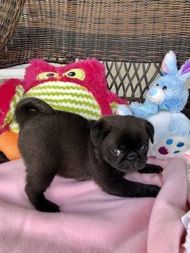 Awesome Pug Names 95 Sweet Silly Adorable Ideas Pug Names