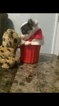 Chihuahua Puppy For Sale In Pittsburgh Pa Adn 25193 On