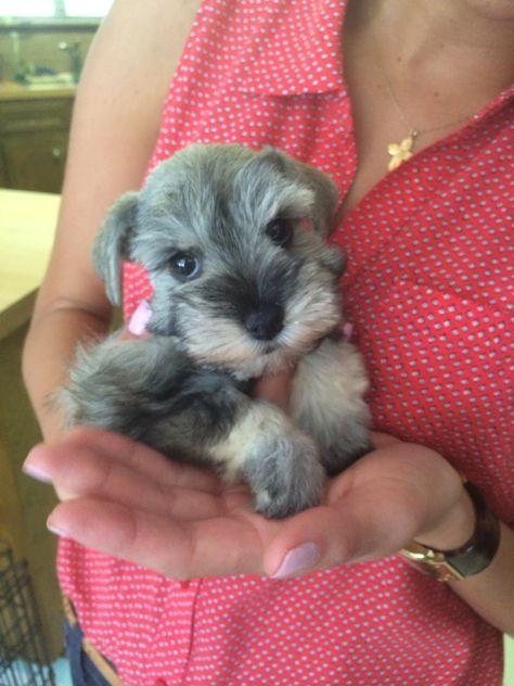 Toy Schnauzer Puppy