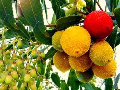 Drzewko Truskawkowe Arbutus Sadzonki 30 40 Cm 6841471675 Oficjalne Archiwum Allegro Fruit Apple Plum