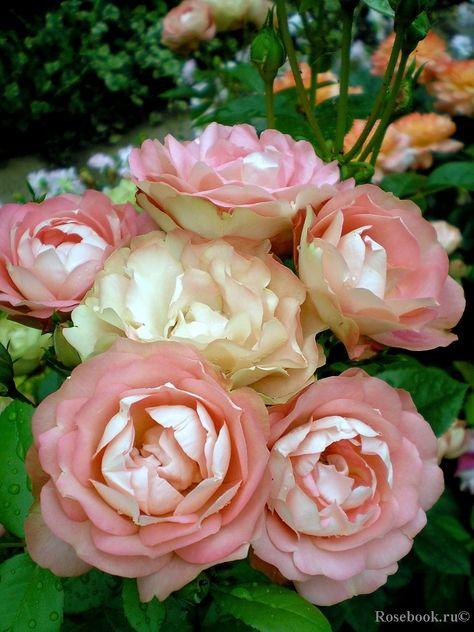 'Acropolis' | Floribunda rose. Meilland France, 2001