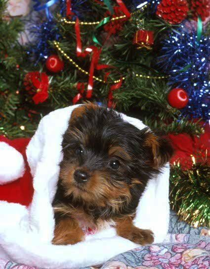 Christmas Yorkshire Terrier Puppy In 2020 Yorkie Puppy Yorkshire Terrier Yorkshire Terrier Puppies