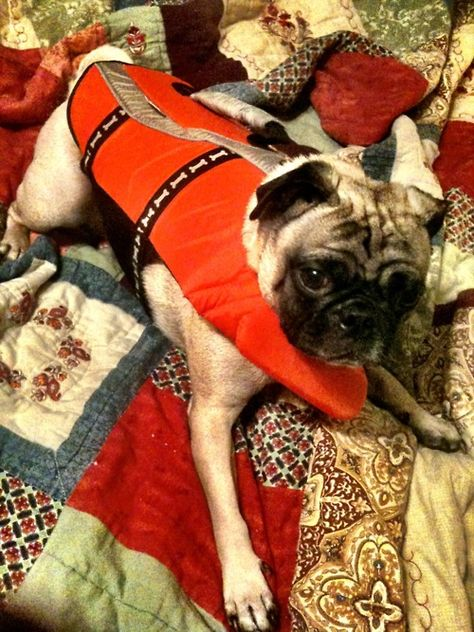 Baywatch Pug Someone Found My Kid On My Website And Named Him