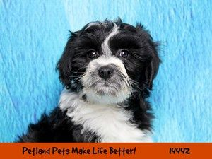 Dogs Puppies For Sale Petland Chicago Ridge Illinois Pet Store Puppies For Sale Dogs And Puppies Pet Store