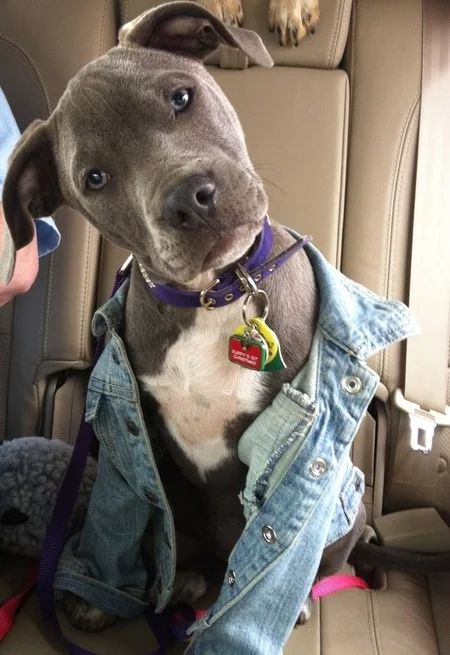 Pitbull Terrier A puppy head tilt gets us every time! Amstaff Terrier, Pitbull Terrier, Bull Terriers, Dogs Pitbull, Blue Pitbull, Cute Puppies, Cute Dogs, Dogs And Puppies, Doggies