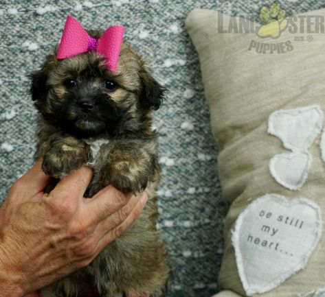 Candy Adorable Shipoo Puppy Ready To Go Cute Shih Poo Puppy For