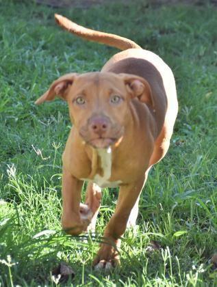 Adopt Doodle Bug On With Images Dog Adoption Labrador Retriever Labrador Puppy