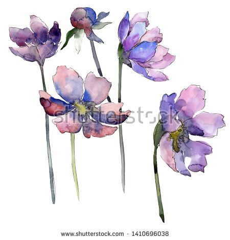 Stock Photo Violet Cosmos Flower Floral Botanical Flower Wild Spring Leaf Wildflower Isolated Water Botanical Flowers Floral Botanical Watercolor Background