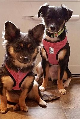 Orangeburg Sc Chihuahua Meet Paddy Bonded With Seryna A Pet