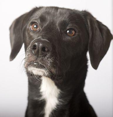 Chicago Il Border Collie Meet Benson A Pet For Adoption Pet