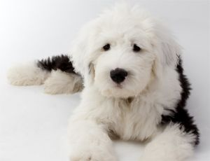 Old English Sheepdog Training: Learn All About Training Old English Sheepdogs  Taking Care of Them