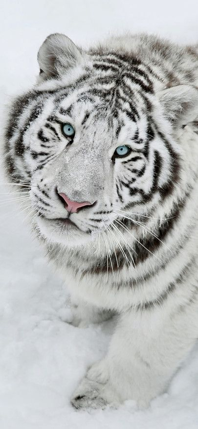White Tiger Is Feral The King Of Forest Of Beast Of Prey Wallpapers For Iphone X Iphone Xs And Iphone Xs Tiger Wallpaper Tiger Pictures Tiger Wallpaper Iphone