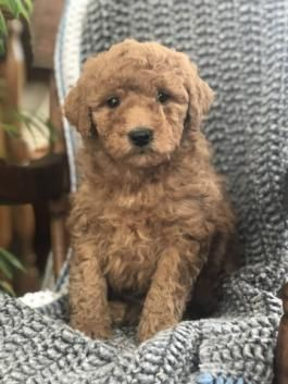 Mini Goldendoodle Puppies For Sale Lancaster Puppies