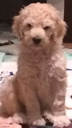 Poodle Standard Woodle Mix Puppy For Sale In Bethesda Md Adn