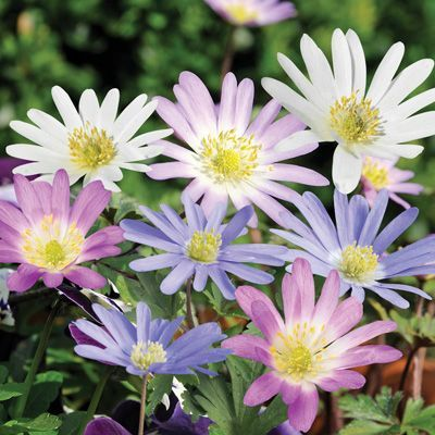 Anemone Blanda Perennials 75 Mixed Bulbs All Fans Of The Natural Garden Beware Today We Will Explain How You Can Create In 2020 Perennials Anemone Natural Garden