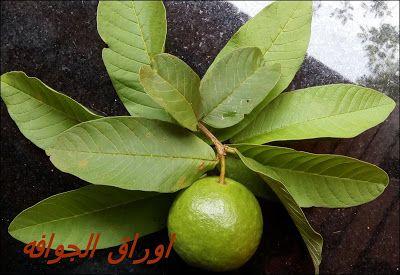 مطبخ الذوق الرفيع الفوائد الطبية والصحية لاوراق الجوافة Quick Hair Growth Herbal Shampoos Mild Hair