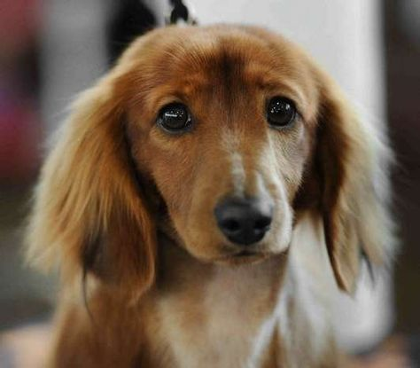 Dobby The Miniature Long Haired Dachshund Is One Of The Many Breeds Competing During The An Long Haired Miniature Dachshund Long Haired Dachshund Dachshund Dog