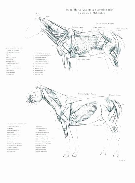 - 21 Veterinary Anatomy Coloring Book In 2020 Horse Anatomy, Horses, Anatomy  Coloring Book