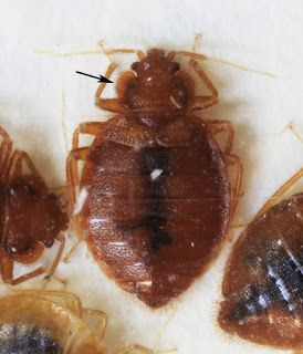 Insects In The City When A Bed Bug Isn T A Bed Bug Bed Bugs Pest Control Bed Bugs Treatment