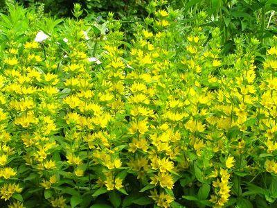 Kwiaty Ogrodowe Wieloletnie Tojesc Kropkowana Lawn And Garden Herbs Garden