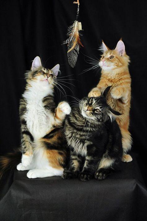Funny Cat Origami Odin and Orinoco LOL LOL Kitten Photo