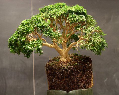 List of species used in bonsai - Wikipedia, the free encyclopedia