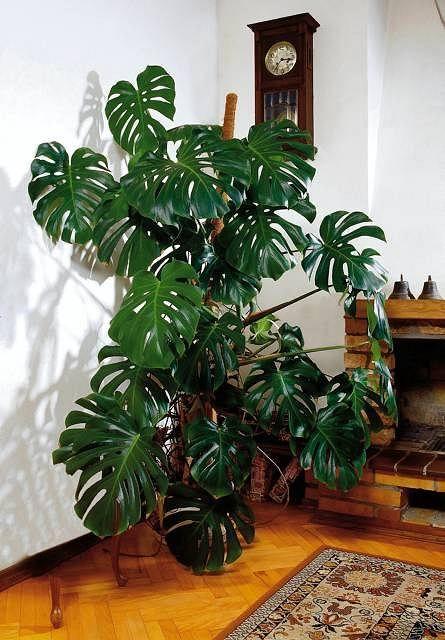 Kwiaty W Mieszkaniu Monstera Nie Sprawia Klopotow W Uprawie Nie Lubi Bezposredniego Naslonecz Nienia Plants Plant Leaves Indoor Plants