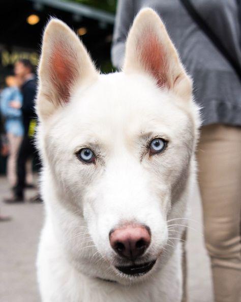Mingus Siberian Husky 2 Y O Union Square New York Ny He
