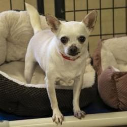 Colorado Springs Co Chihuahua Meet Snowman A Pet For Adoption Pet Adoption Chihuahua Pets