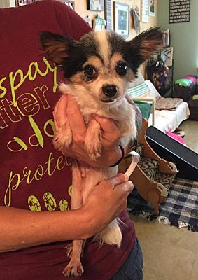 Benton La Pomeranian Meet Hoolahan A Dog For Adoption Dog Adoption Pets Dogs