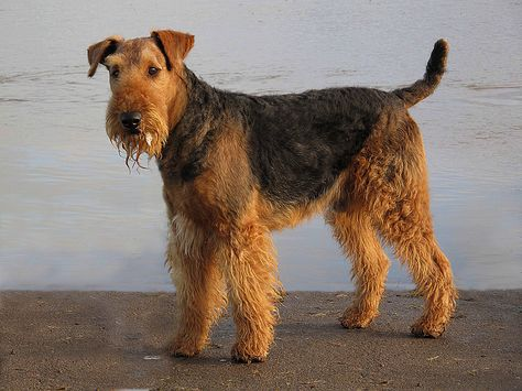 airedale terrier | Airedale Terrier,   Can't wait to take my dog to the Beach!